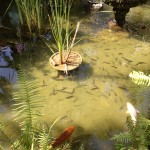 Pond of fish at the Bakung Hotel
