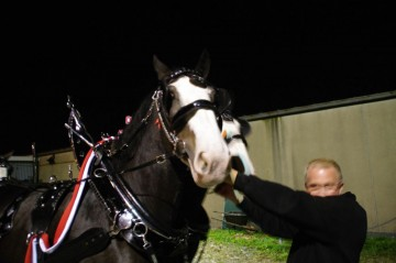 Six Horse Clydesdale Hitch-100