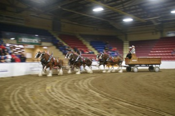 Six Horse Clydesdale Hitch-108