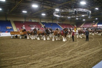 Six Horse Clydesdale Hitch-124